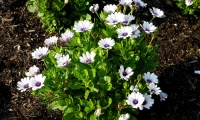 Akila Wjite Purple Eye Osteospermum 820463
