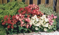 begonia-semperflorens-sprint-mix-c1270-1